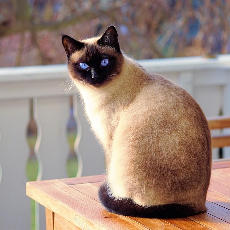 【JAVA猫舍】泰国暹罗猫 保30天健康 保纯种 Siamese