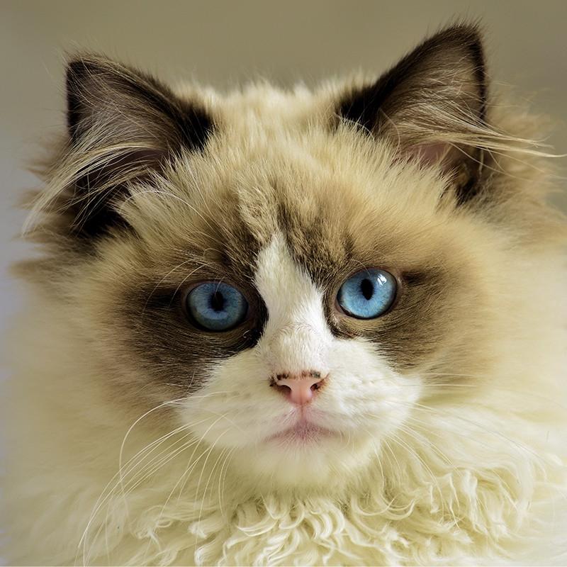 布偶猫 保30天质量 保纯种 Ragdoll