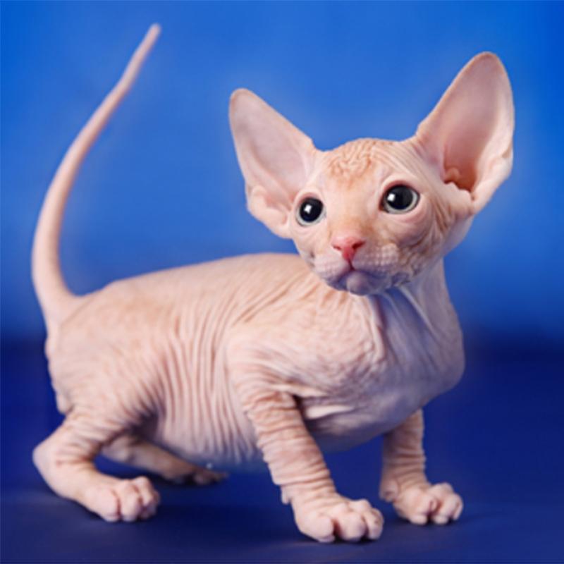 加拿大无毛猫(斯芬克斯貓) 保30天质量 保纯种 Sphynx