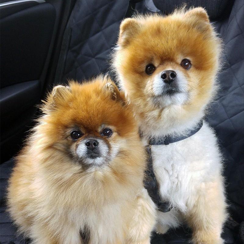 博美/俊介犬 保30天健康 保纯种 Pomeranian